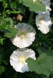 White Hollyhocks