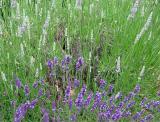 Lavender  & Grass
