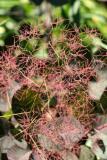 Smoke Tree - Cotinus coggygria