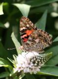 Butterfly  & Lysimachia