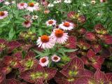 Echinacea & Coleus Garden