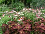 Echinacea & Coleus