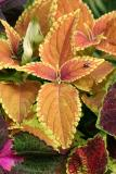 Coleus and a Fly