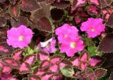 Petunias and Coleus