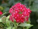 Penta lanceolata or Starflower