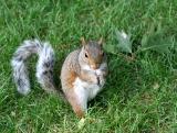 Noshing Squirrel