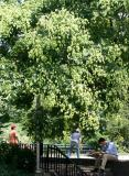 Golden Rain Tree at the Bocce Ball Court