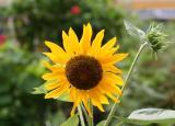Sunflower - Helianthus