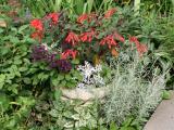 Garden Vignette - Fuchsia, Purple Salvia, Silver Sencio and Cumin Plant