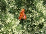 Orange Lamp Shade Amidst Japanese Pagoda Tree Blossoms