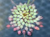 Ludwigia sedoides or Mosaic Plant