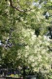 Japanese Pagoda Tree Blossoms