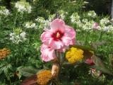 Hibiscus, Cleome & Yarrow