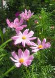 Cosmos Asters
