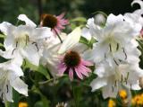 Casa Blanca Lilies & Echinacea