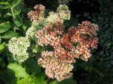 Sedum or Autumn Joy