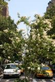Crepe Myrtle at South End of Fifth Avenue at the Arch