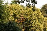Golden Rain Tree  - Seed Pod Stage