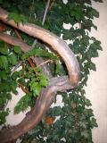 Ivy & Wisteria Vine