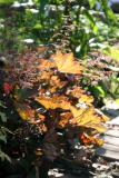 Garden Plot - Coral Bells