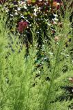 Tamarisk Foliage