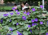 Morning Glories at the Dog Run