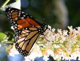 Monarch on Butterfly Bush Blossoms