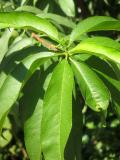 Peach Tree Foliage