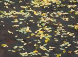 Japanese Pagoda Tree Leaves