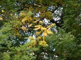 Japanese Pagoda Tree Foliage