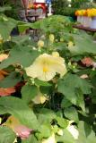 Abutilon - Malva or Flowering Maple