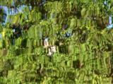 Reflection - Catalpa Tree