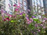 Butterfly Bush & Morning Glories