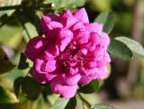 Miniature Raspberry Rose