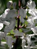 Orthosiphon aristatus - Cat's Whiskers or Java Tea