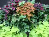 Sidewalk Garden Foliage - Coleus & Ipomoea