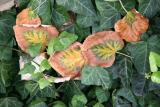 Linden Tree & Ivy Foliage