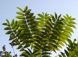 Ailanthus altissima - Tree of Heaven
