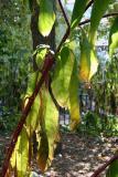 American Pokeweed  - Phytolacca americana