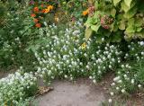 Alyssum Garden Plot