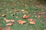 Fallen Sycamore Leaves