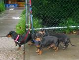 Dachshunds at the Grocery Store