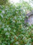 Forsythia Foliage