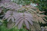 Mimosa Foliage