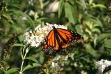 Monarch on a Buddleja Blossom