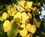 Linden Tree Foliage
