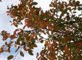 Ornamental Fruit Tree Foliage