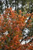 Ornamental Fruit Tree Foliage