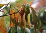 Dogwood Foliage
