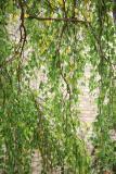Birch - NYU Silver Towers Garden